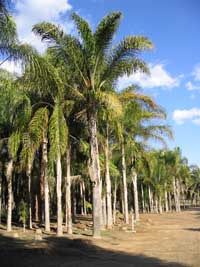 The biggest supplier of large Queen Palms.