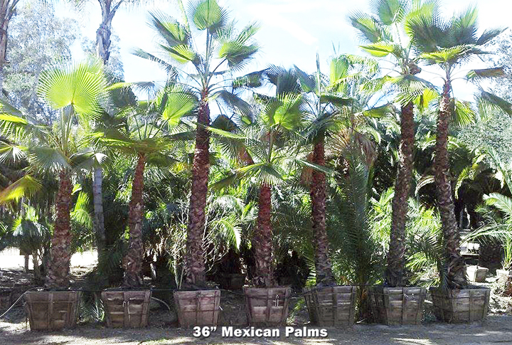 36_MEXICAN-PALMS